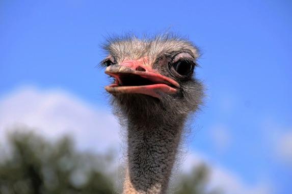 the-ostrich-1652481_960_720
