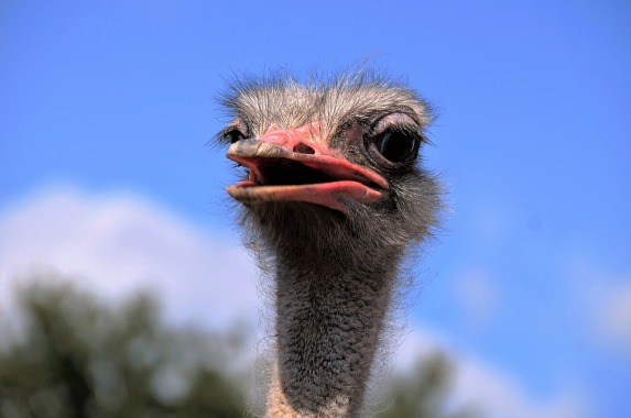 the-ostrich-1652481_960_720